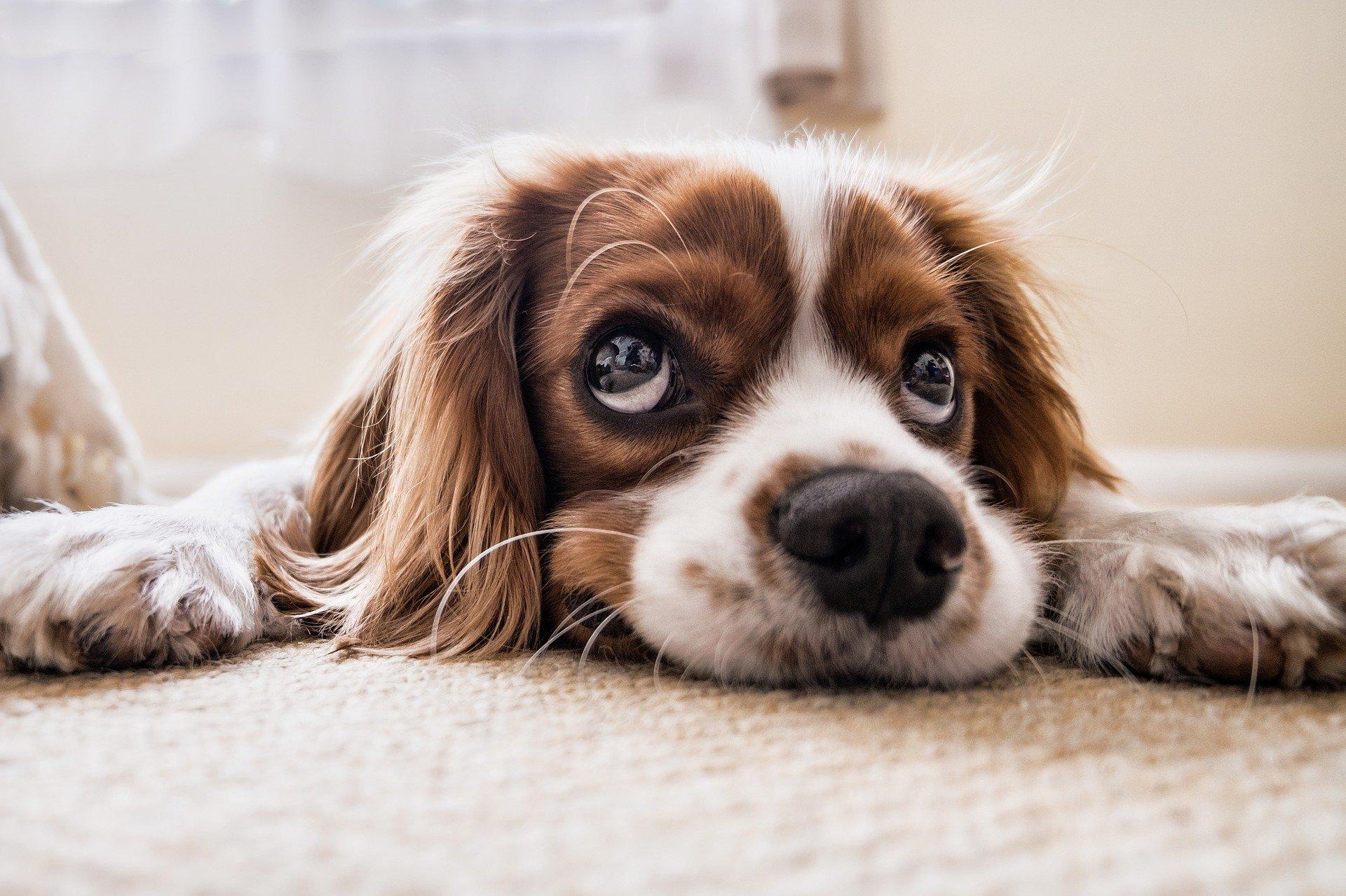 Foto de um cachorro marrom e branco deitado em um tapete. Imagem ilustrativa para o texto plano de saúde para cachorro.